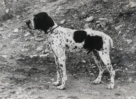 Henri Dimont Photograph of a Danish Pointer