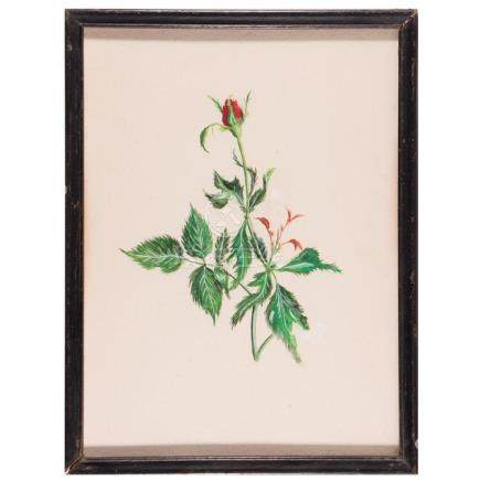 A watercolor botanical of a rose.
