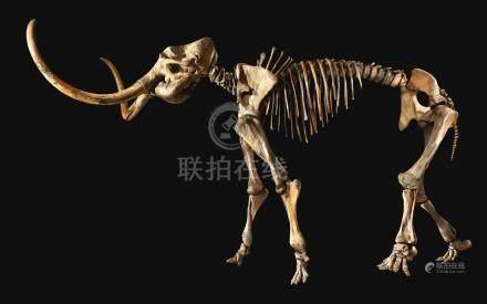 第四紀上更新世   西伯利亞真猛獁象骨化石