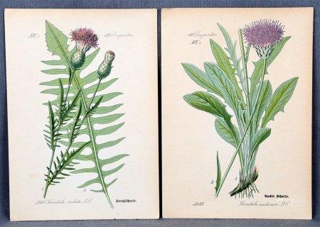 "N.S. ""Serratula radiata"" y ""Serratula nudicaulis""."