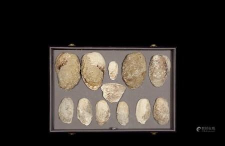 商•蚌贝币一组十二枚