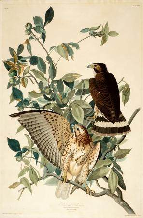 1830 Audubon Broad-Winged Hawk Colored Aquatint