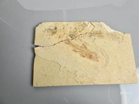 Poisson fossile Dapalis macrurus .Oligogène ou époque Eocène.Env 35 millions d'années.Sur plaqu