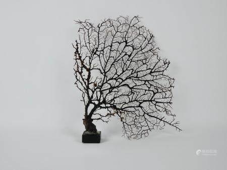 Eventail de mer.Black coral,schwarz gorgonie.Idéal  Cabinet de curiosités.   H :env 35cm.
