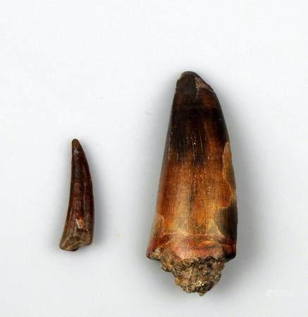 Ensemble comprenant deux dents fossilisées 2,3 à 4,5 cm