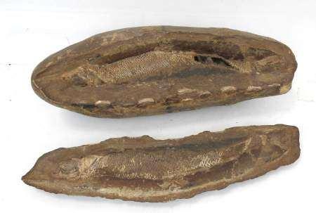 Fossile de poisson dans sa gangue. L. 31 cm. Expert : Monsieur Jean-Sylvain Caillou -
