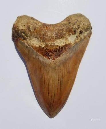 Bid Now: Megalodon Shark Tooth - Invalid date EST