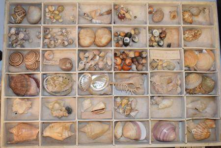 Various early 20th century sea shells (box)