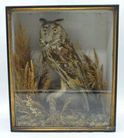 A cased taxidermy large Eared Owl 34 x 60